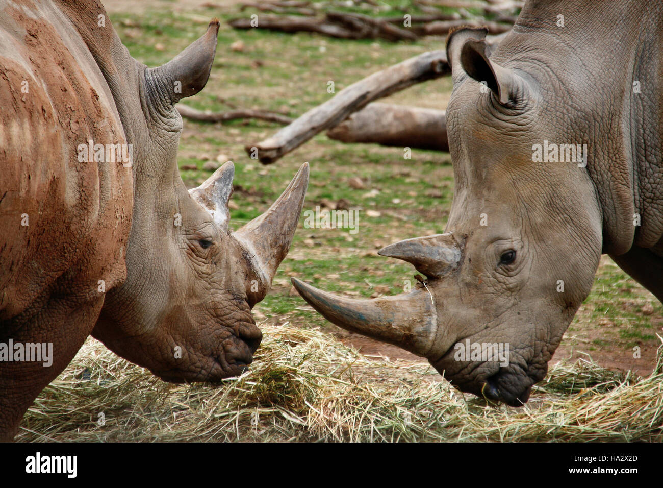 Two Southern White Rhinoceros, South Africa - Stock Photo