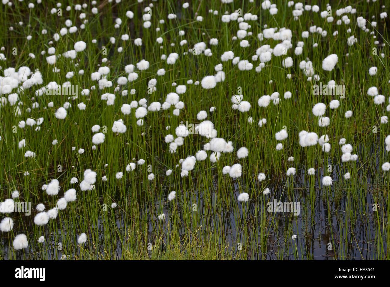 Scheuchzers Wollgras, Eriophorum scheuchzeri, White Cotton Grass - Stock Image