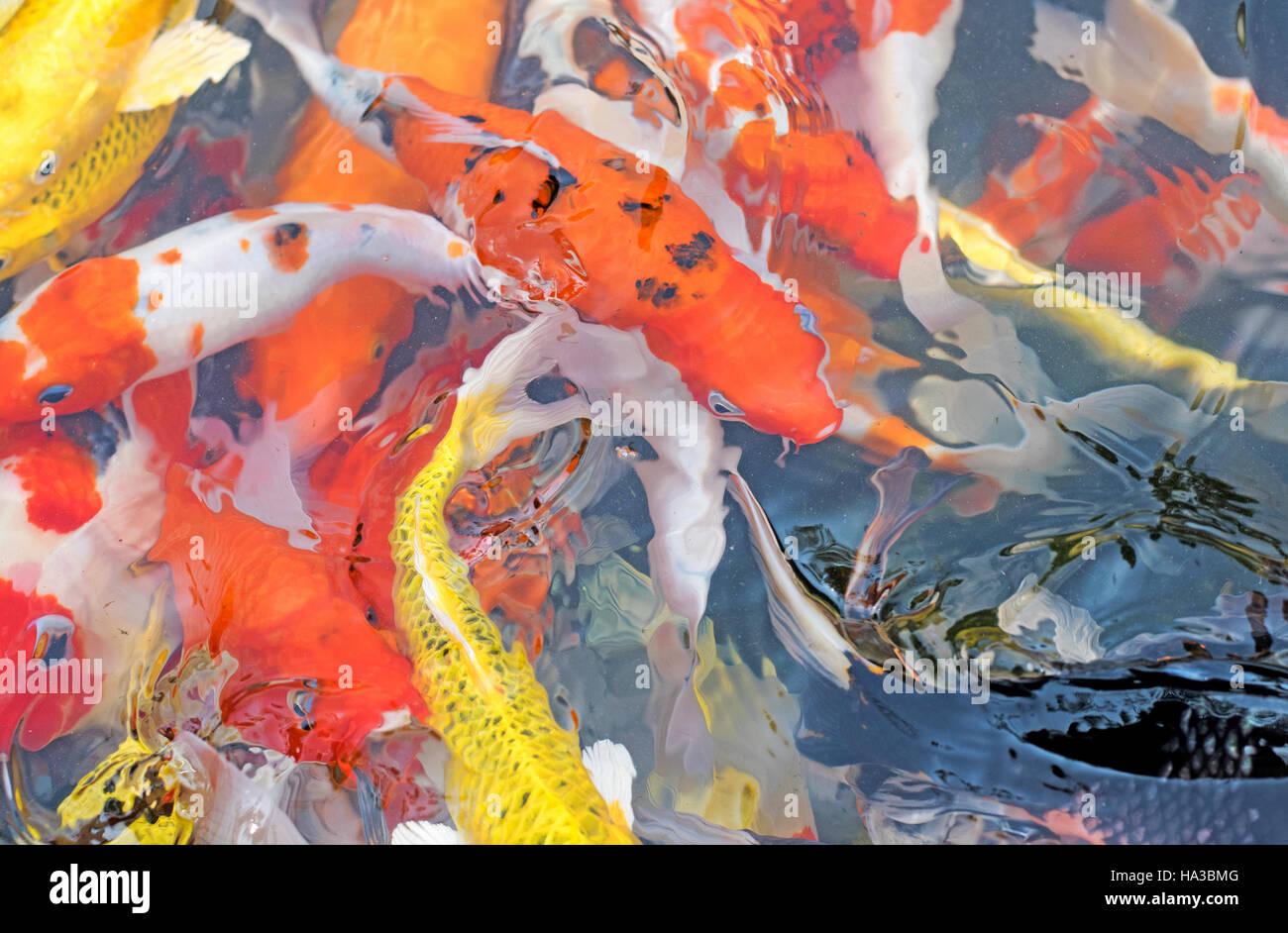 Red Koi Fish Stock Photos & Red Koi Fish Stock Images - Alamy