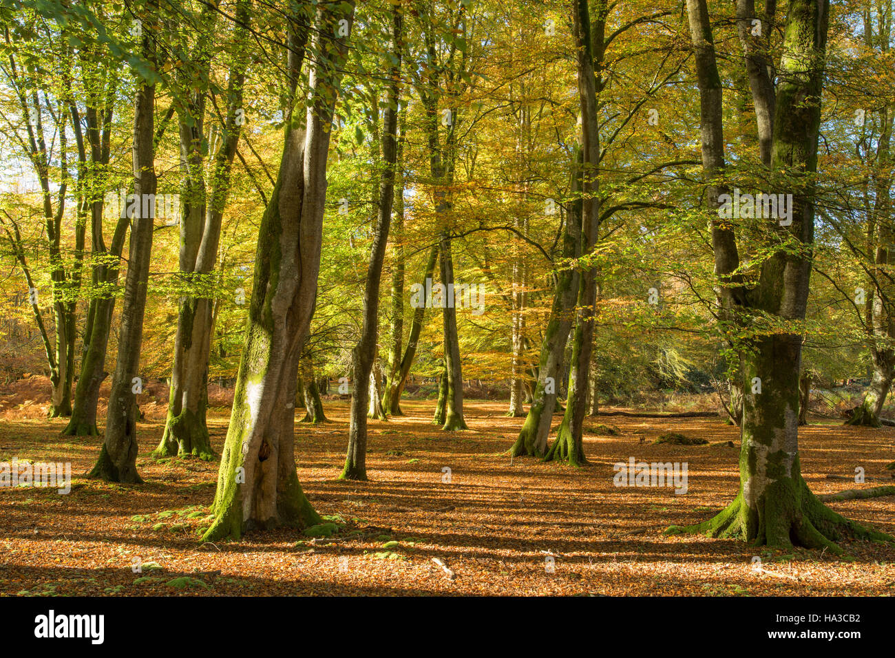 New Forest in autumn, Hampshire, England, UK - Stock Image