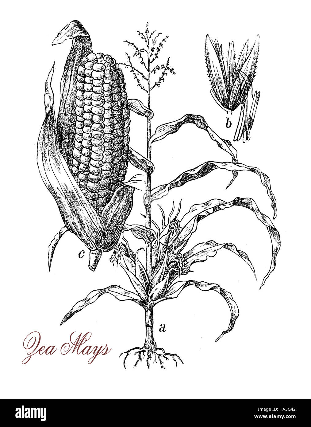 Corn Or Maize Is A Large Grain Plant Native Of Mexico The Fruits