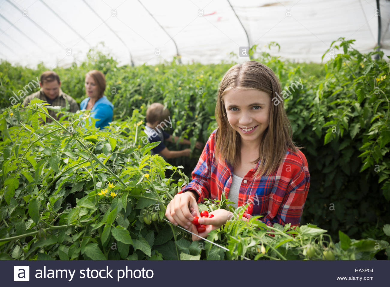 Portrait smiling girl picking tomatoes in greenhouse - Stock Image