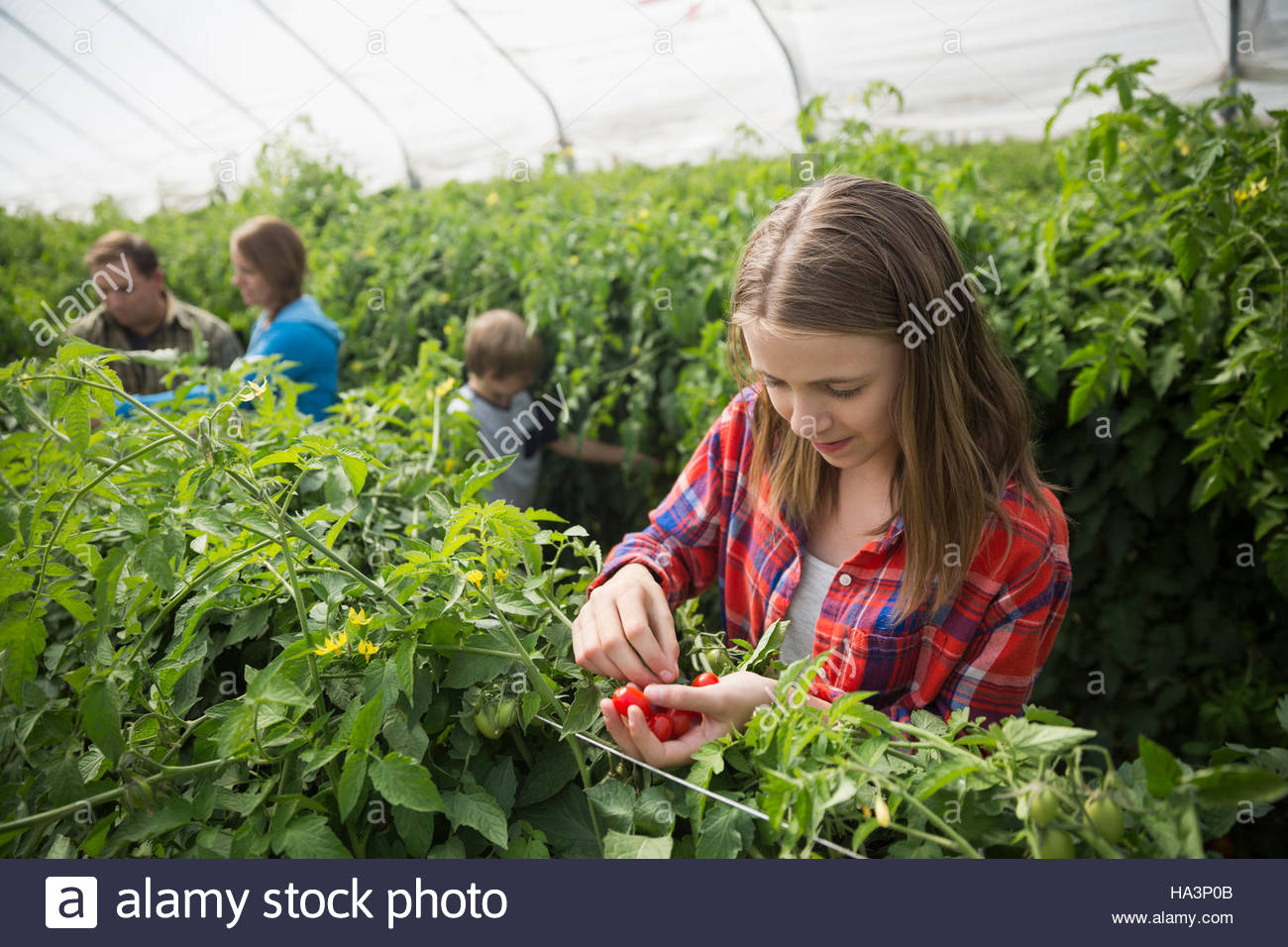 Girl picking tomatoes in greenhouse - Stock Image