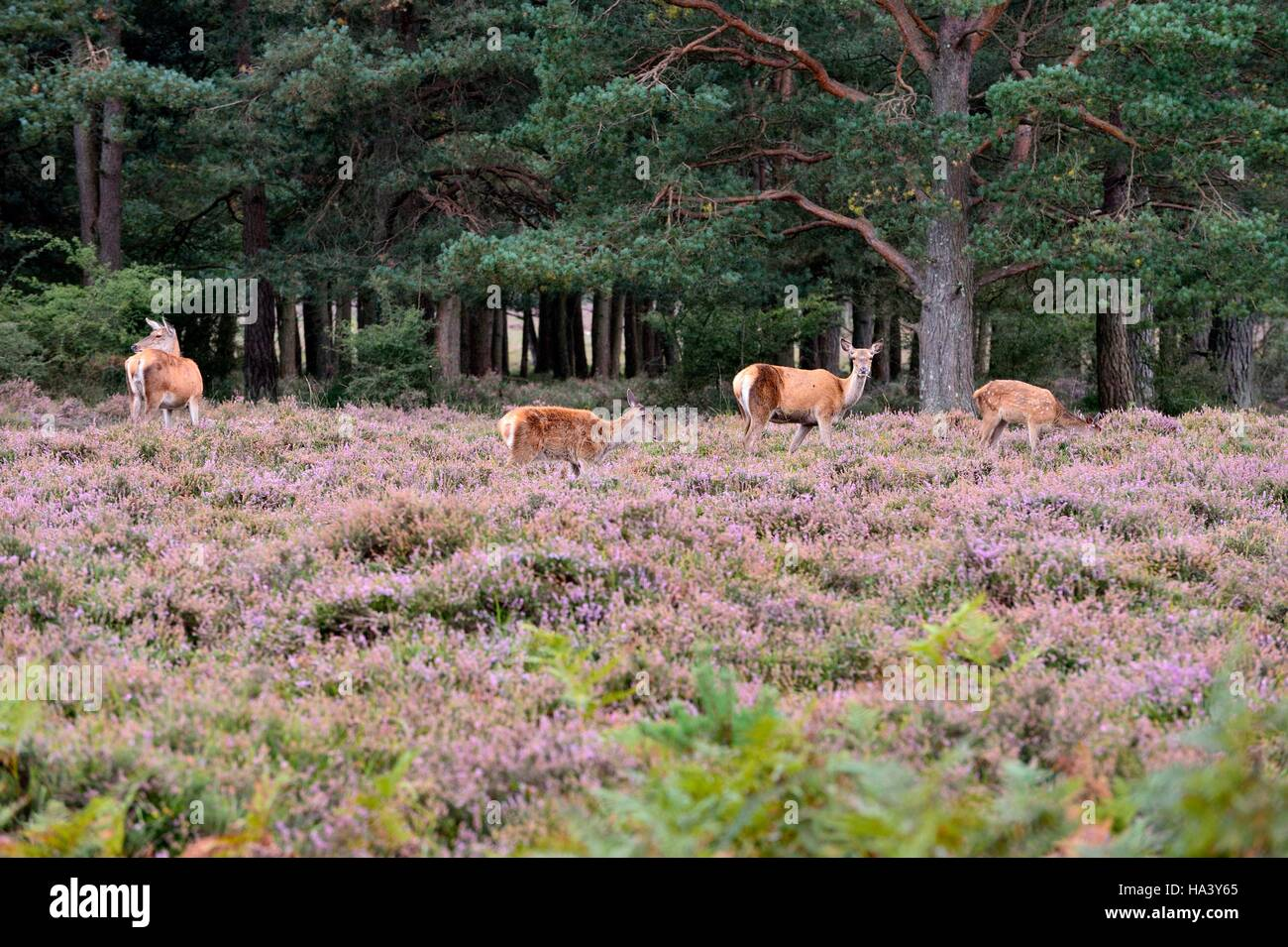 Wild Deer keep a look out grazing amongst the flowering heather - Stock Image