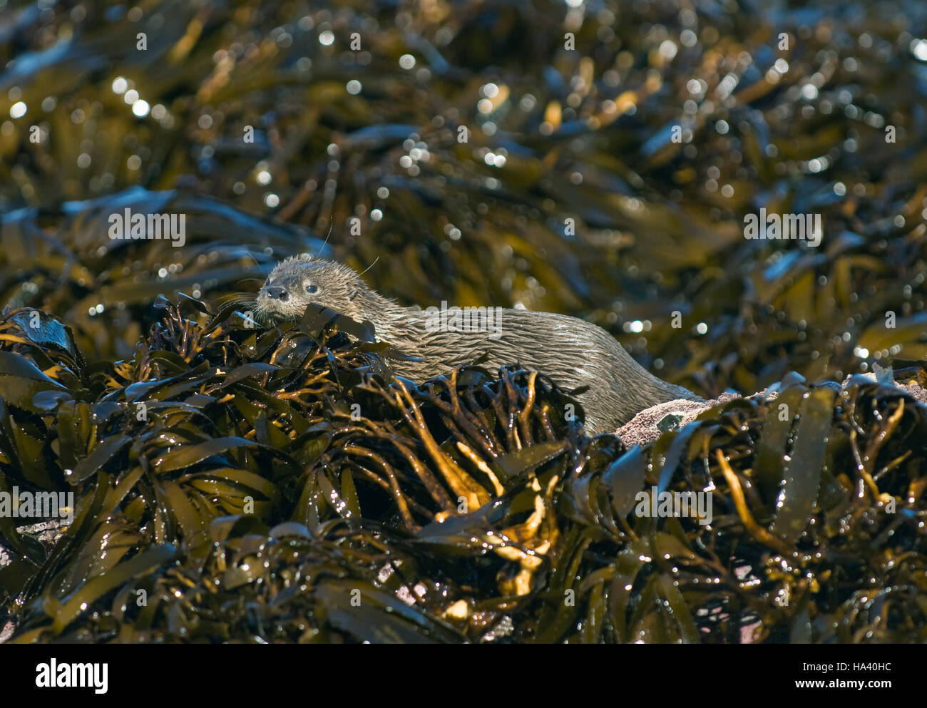 Marine Otter hunting in kelp (Lontra felina) Endangered, Chiloe Island, CHILE : Smallest Marine Mammal on Earth - Stock Image