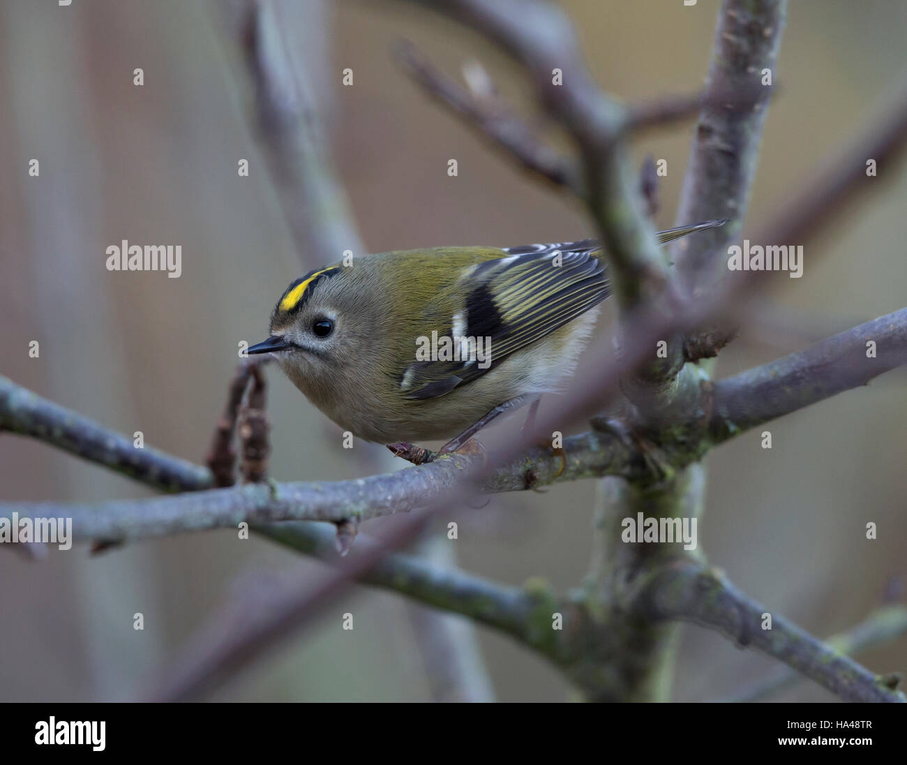 Goldcrest, Regulus regulus, in Wales winter - Stock Image