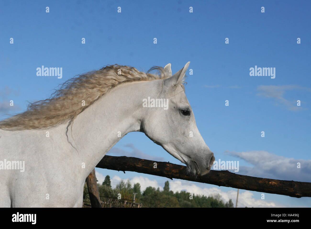 Arabian Horse Head Of White Arab Horse With A Flying Mane Stock Photo Alamy