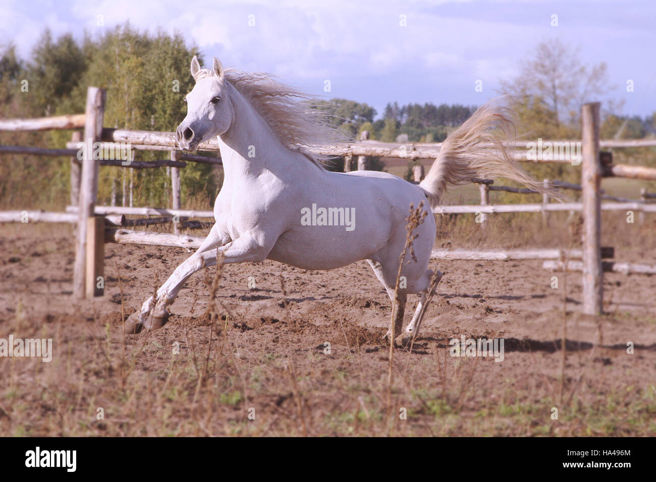 The Magnificent Arabian Horse High Resolution Stock Photography And Images Alamy