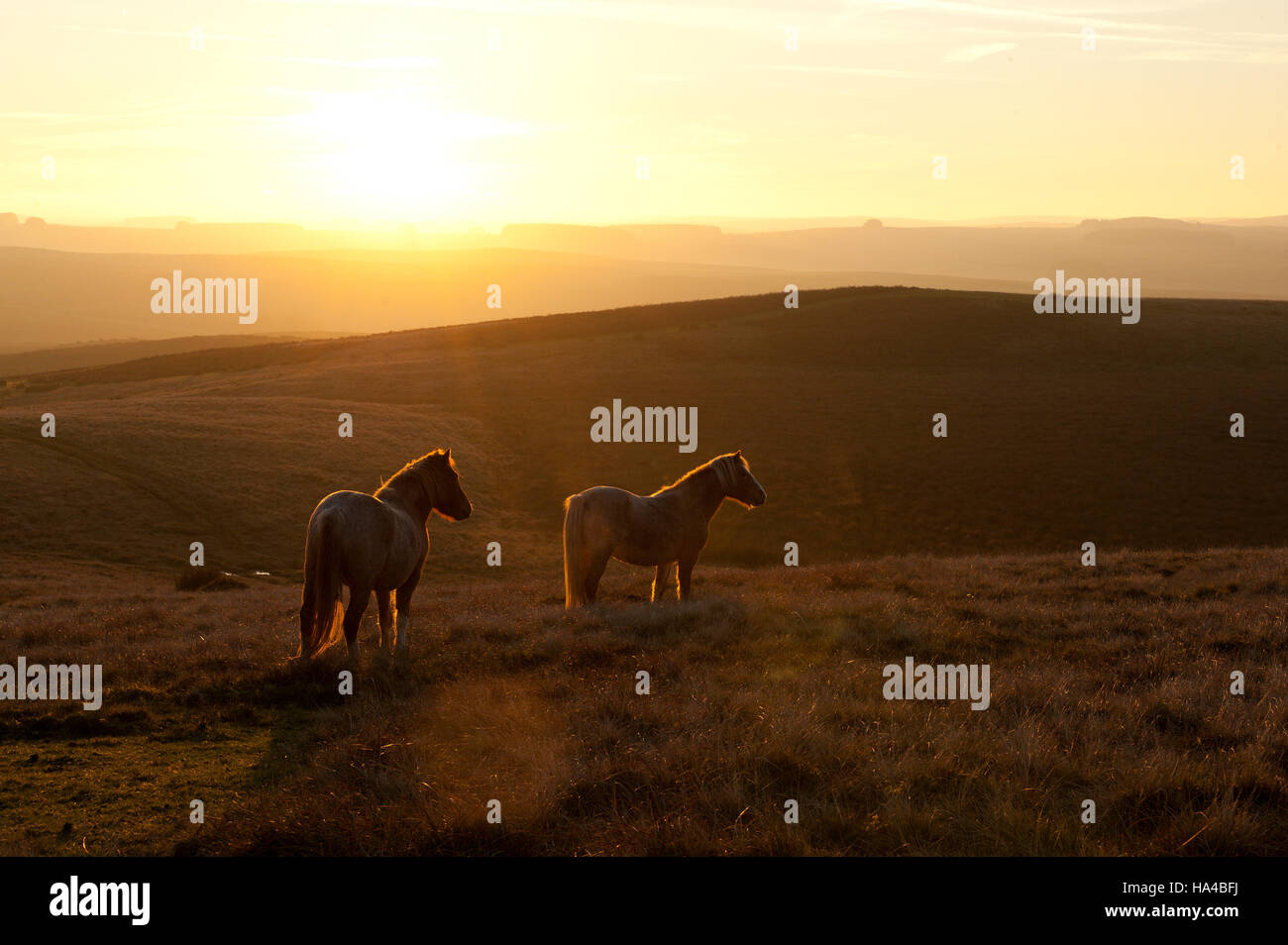 Builth Wells, Powys, Wales, UK. 26th November, 2016. Temperatures are forecast to drop to freezing tonight as Welsh - Stock Image
