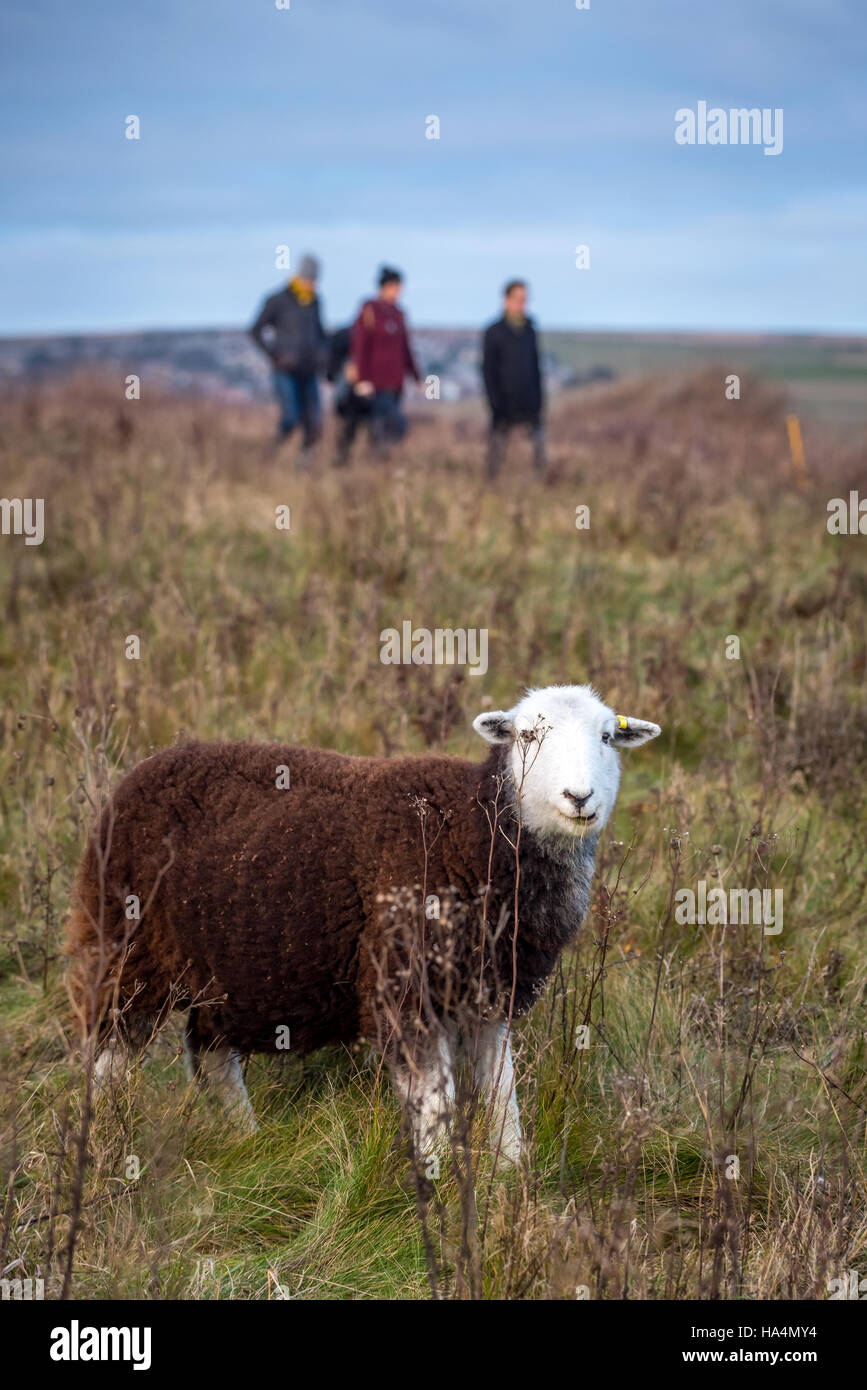 Rottingdean, East Sussex, UK. 27th Nov, 2016. A sheep and walkers at Rottingdean in East Sussex. Credit:  Andrew Stock Photo