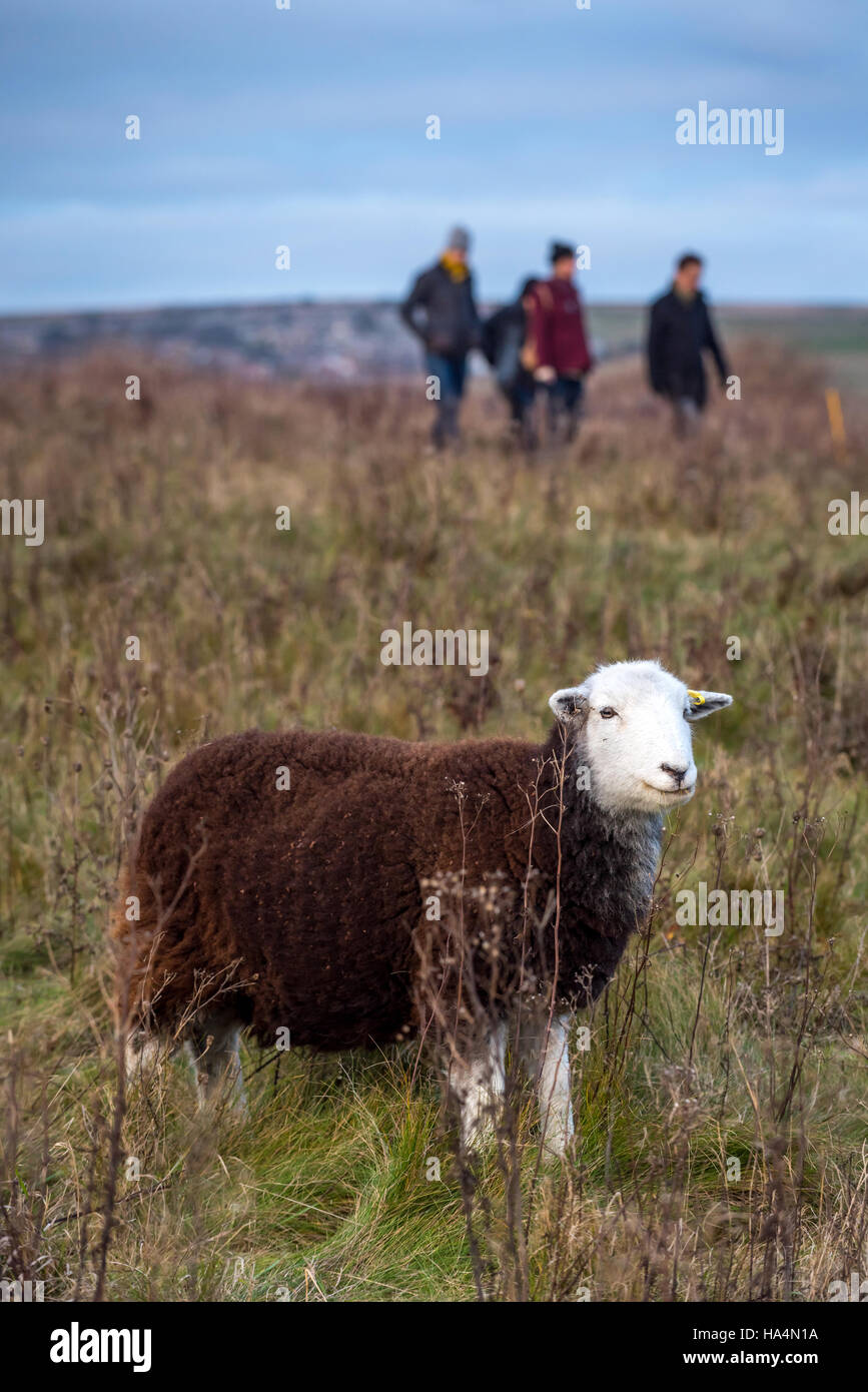 Rottingdean, East Sussex, UK 27th Nov, 2016 A sheep and walkers at Rottingdean in East Sussex. Credit:  Andrew Hasson/Alamy - Stock Image