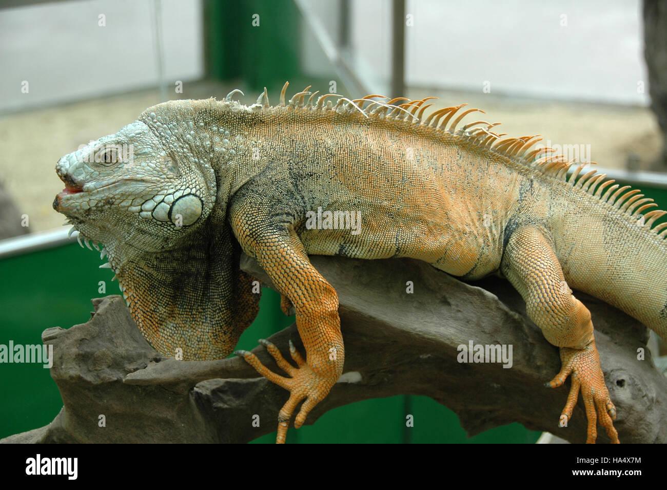 Iguana (I. igua Stock Photo: 1...