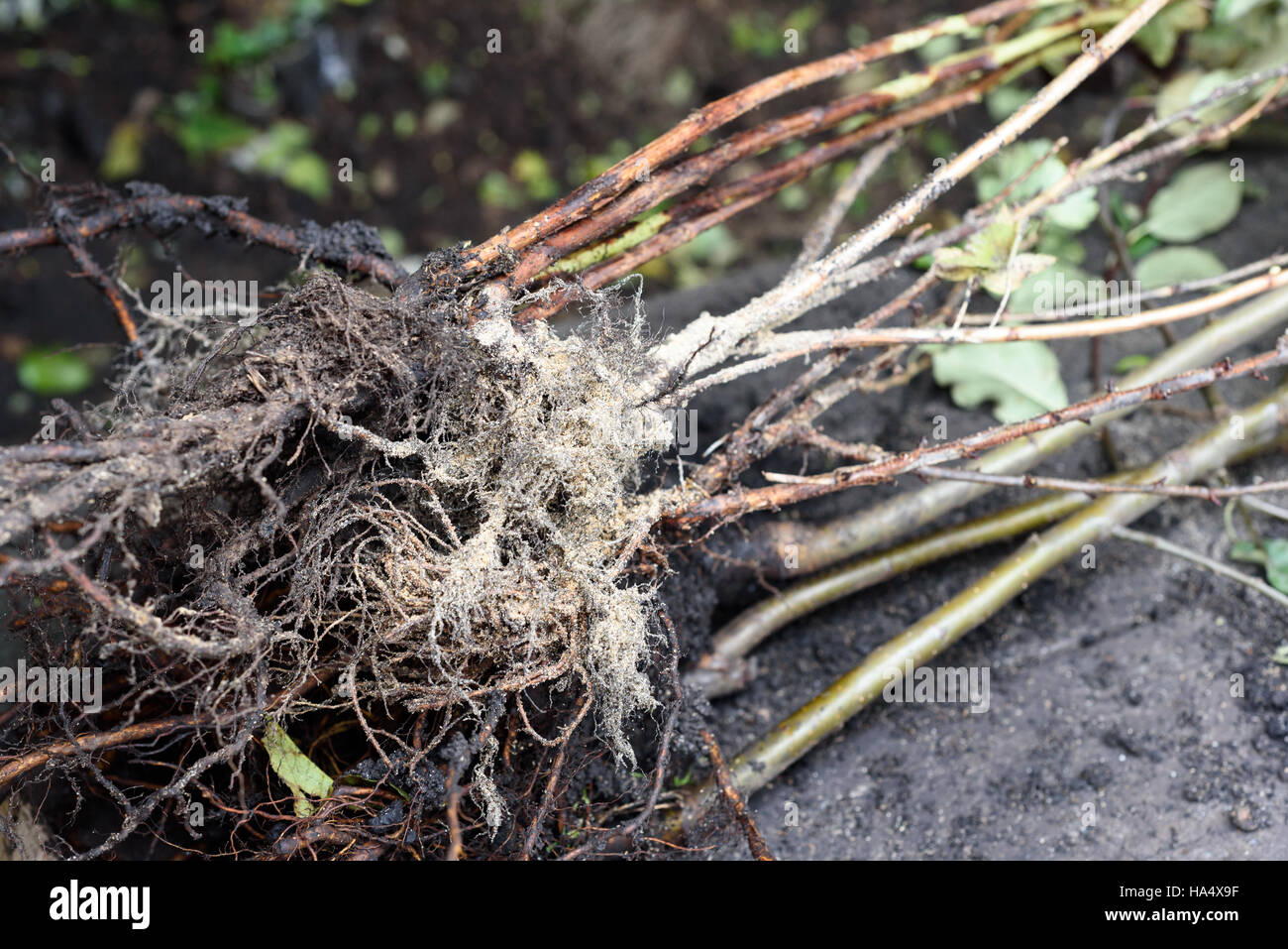 Young roots a a fruit tree sapling covered in fresh earth - Stock Image