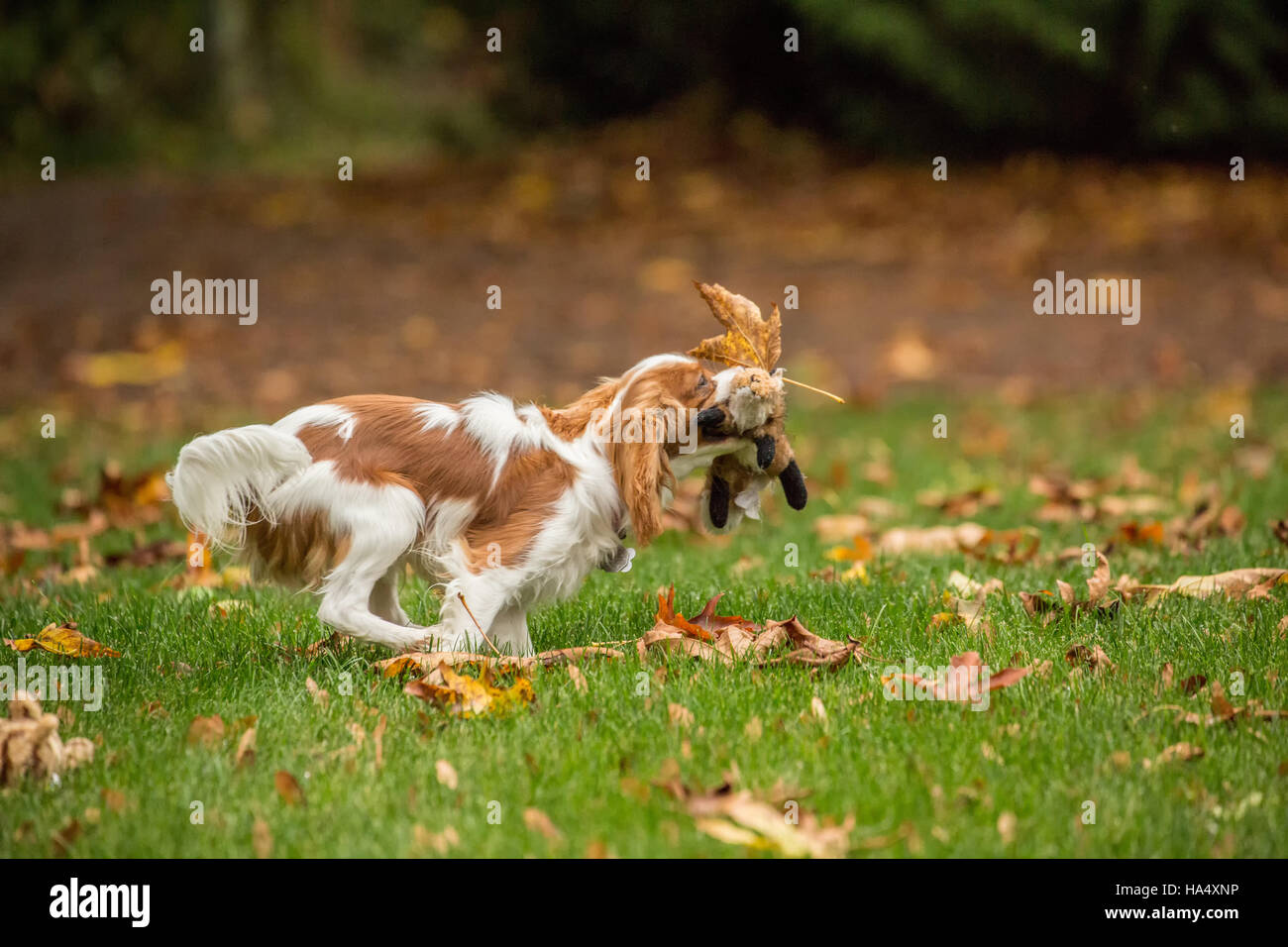 Six month old Cavalier King Charles Spaniel puppy running outside with her stuffed animal toy on an Autumn day Stock Photo