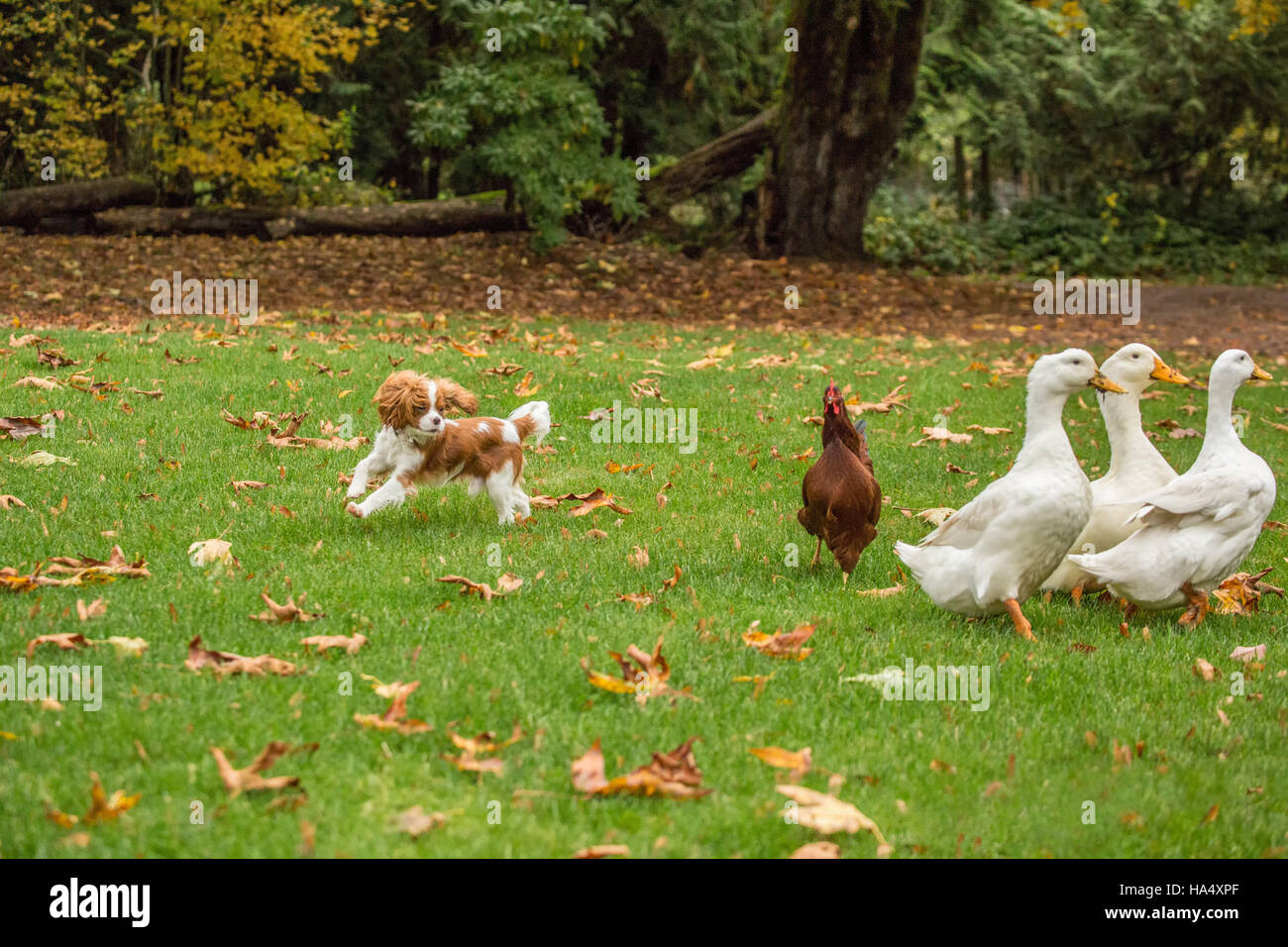 Six month old Cavalier King Charles Spaniel puppy chasing free-ranging Pekin ducks and a Rhode Island Red chicken - Stock Image