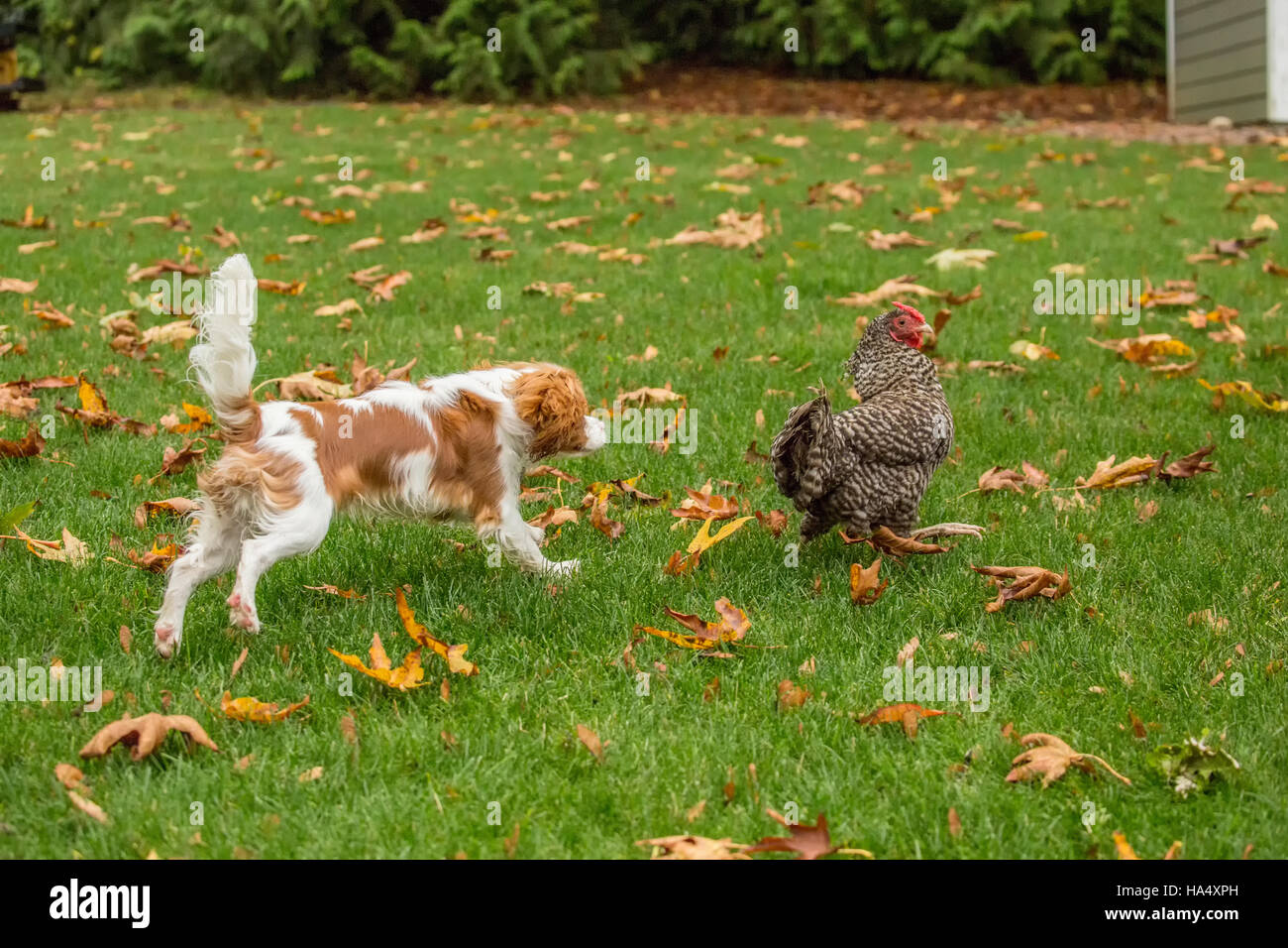 Six month old Cavalier King Charles Spaniel puppy trying to catch a free-ranging Dominique chicken outside on an - Stock Image