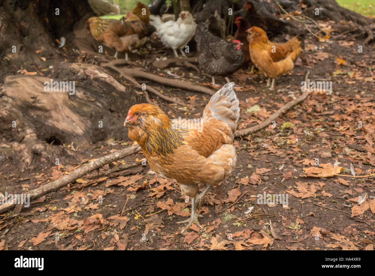 Free-ranging chickens underneath a large tree in Issaquah, Washington, USA. - Stock Image