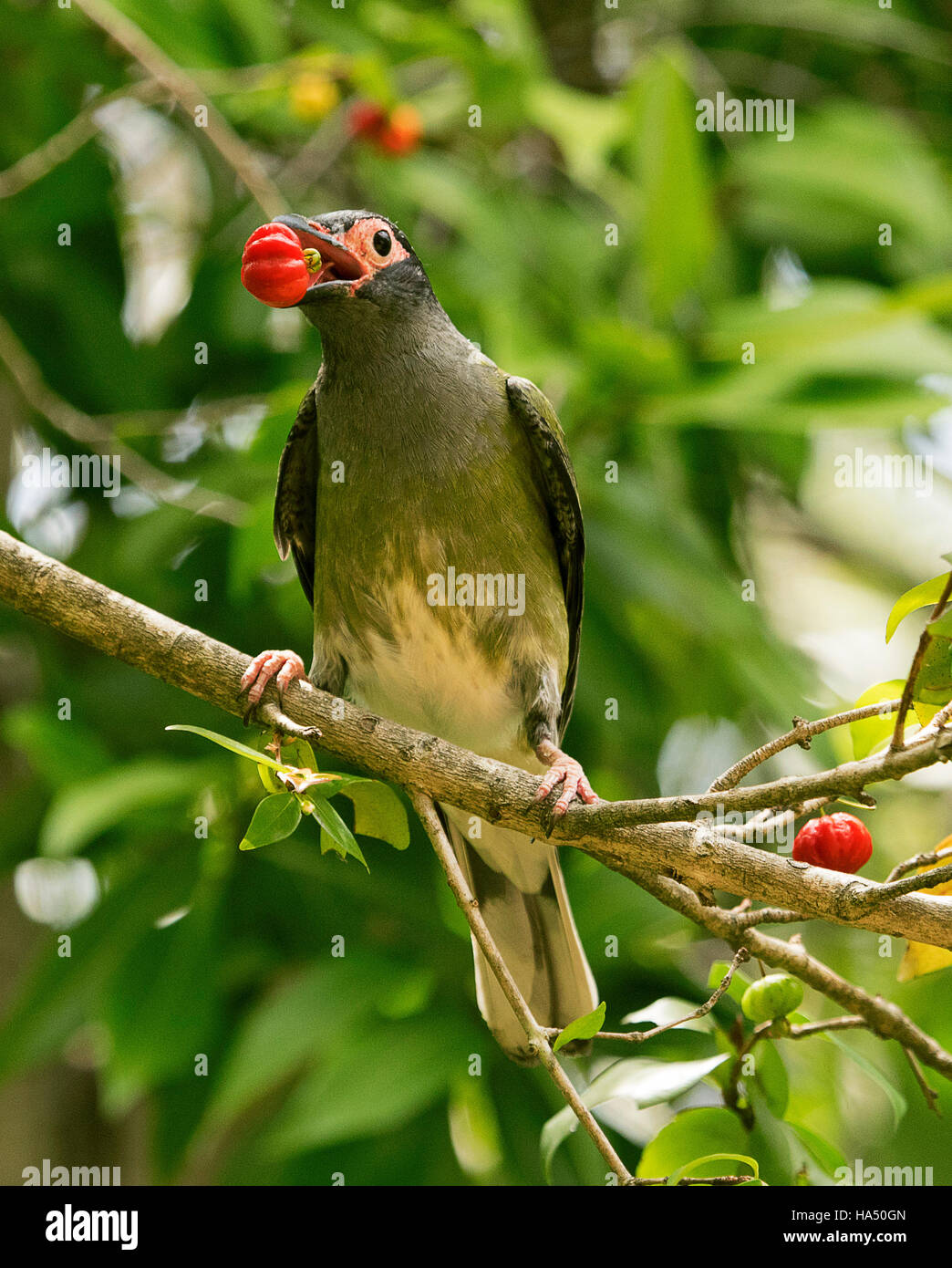 Male Australian green figbird, Sphecotheres viridis with vivid red fruit in bill against background of green foliage Stock Photo