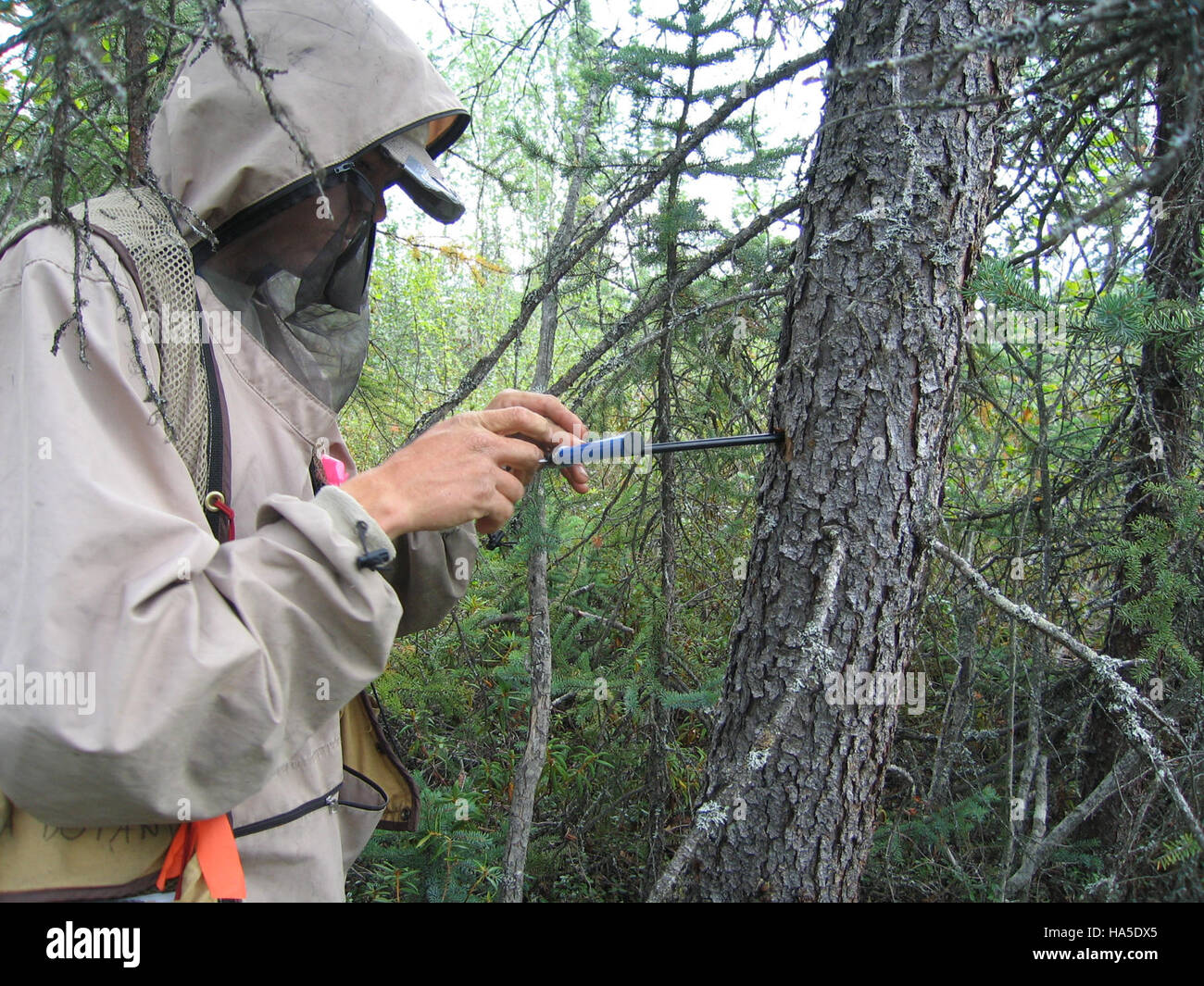 alaskanps 8445050645 Biological technician Peter Nelson takes a wood core sample from a spruce tree, which will - Stock Image