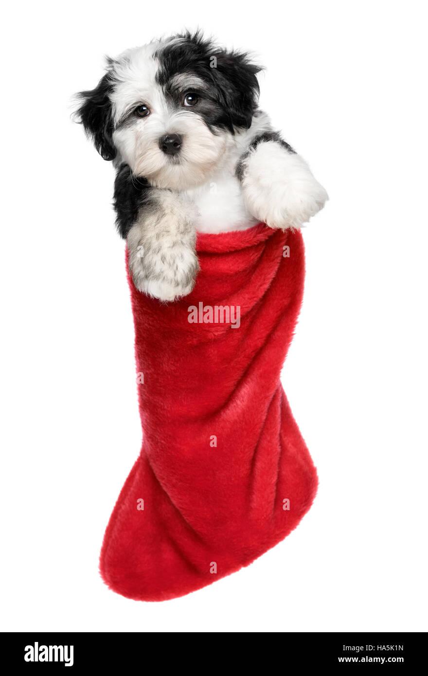 Cute Bichon Havanese puppy dog is hanging on a Christmas - Santa ...