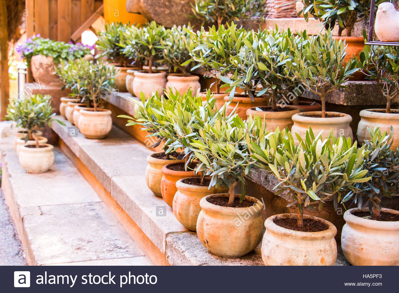 Olive Trees In Terracotta Planting Pots For Sale. Flower Shop In Provence  France, Garden Tree For Sale, Display On Stone Stairs Olive Tree Pot