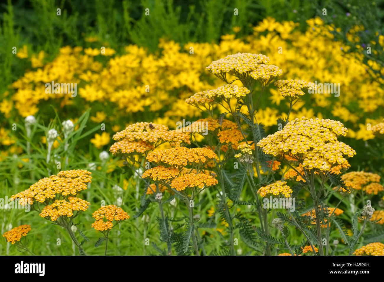 Garten-Schafgarbe in gelb der Sorte Terracotta - yellow Fernleaf Yarrow in garden, species Terracotta Stock Photo