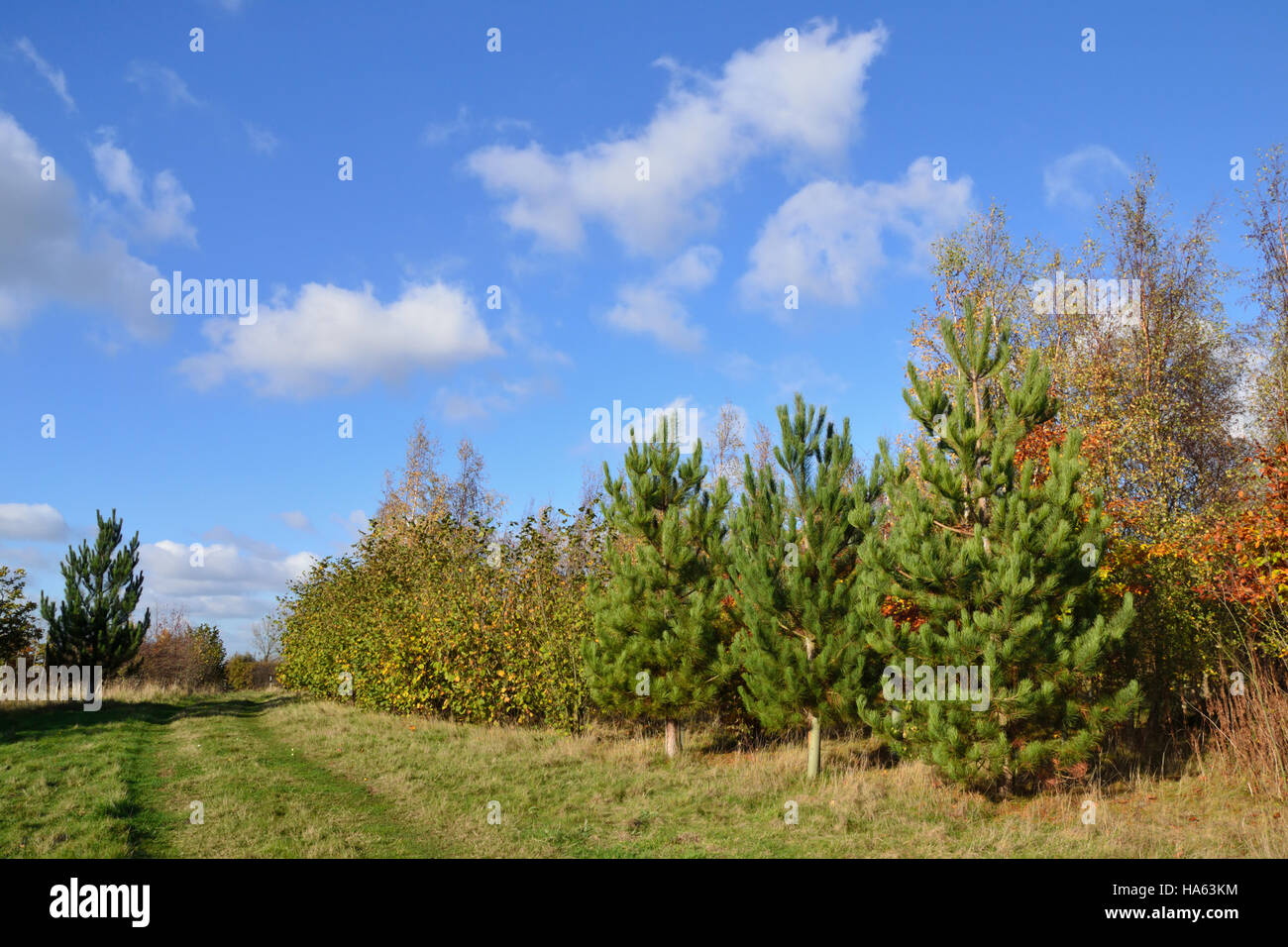 A footpath through a young plantation of coniferous and deciduous trees under a bright blue sky. Stock Photo
