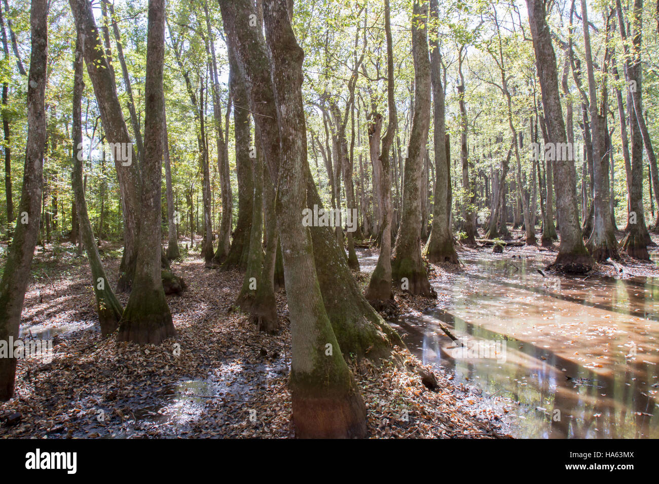 Cypress and water tupelo tree swamp along Natchez Trace Parkway in Mississippi, USA. - Stock Image