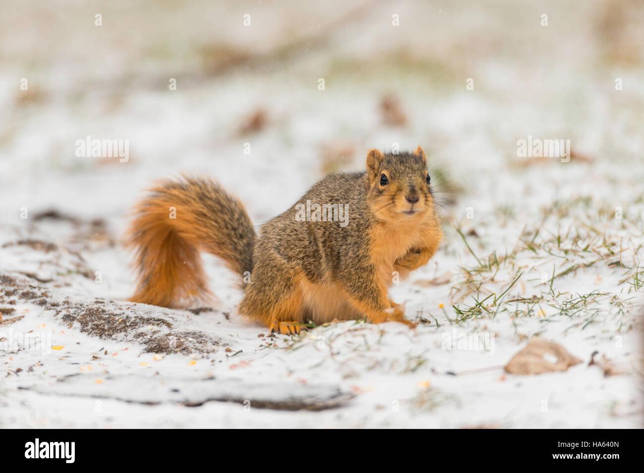 Fox Squirrel foraging on snowy ground. Stock Photo
