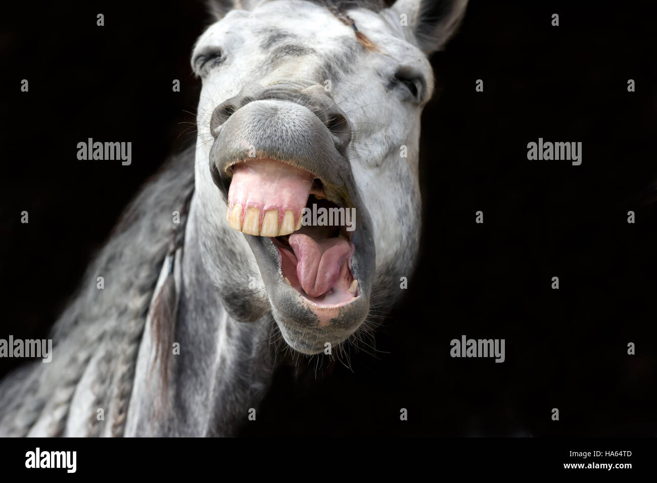 Funny animal is a white horse laughing his funny face off. - Stock Image