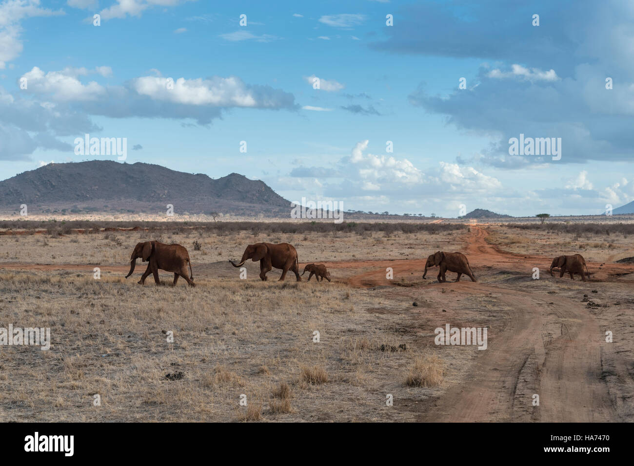 A family group of 'red' elephants (Loxodonta africana) walking across the savanna - Stock Image