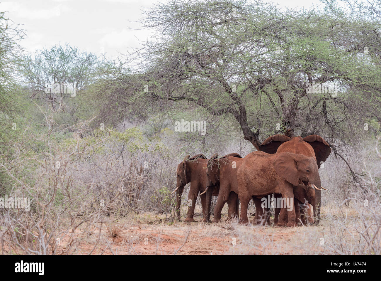 A family group of 'red' elephants sheltering under an Acacia tree - Stock Image