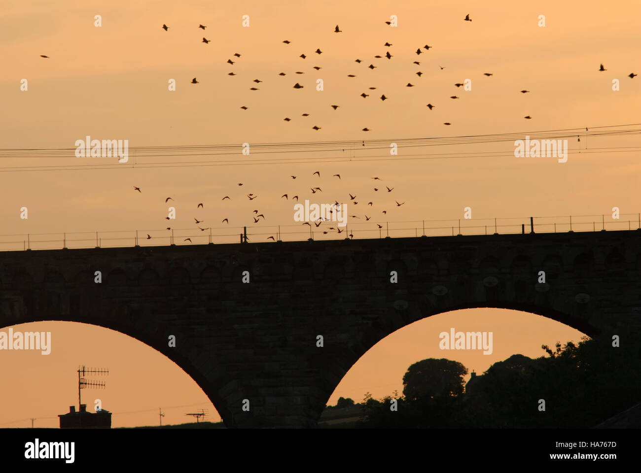 Rail viaduct at sunset with flocks of pigeons and gulls in silhouette, Berwick-upon-Tweed, Northumberland, England - Stock Image