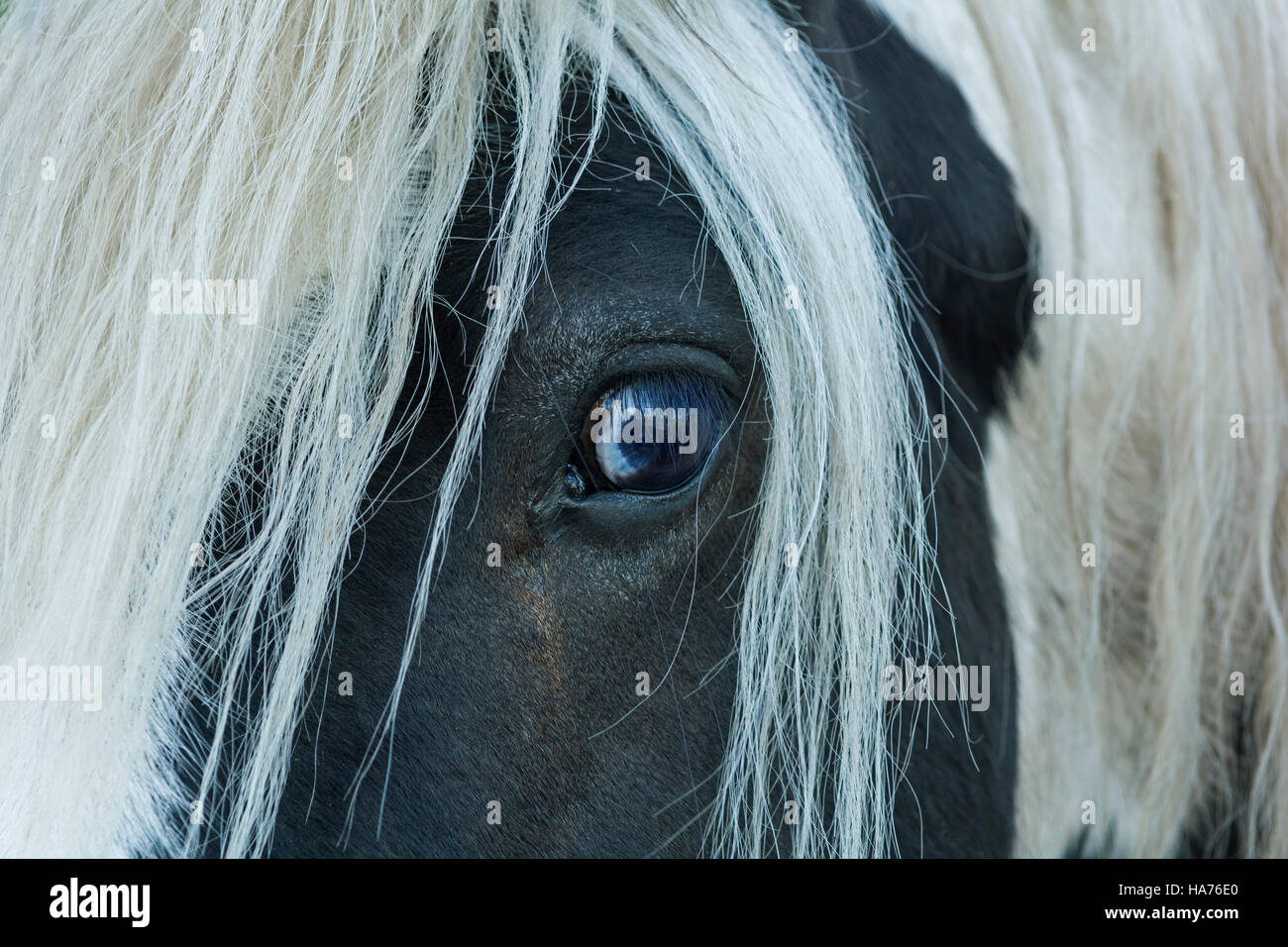 The staring eye of a traveller's horse with long mane, looking curious or cautious - Stock Image