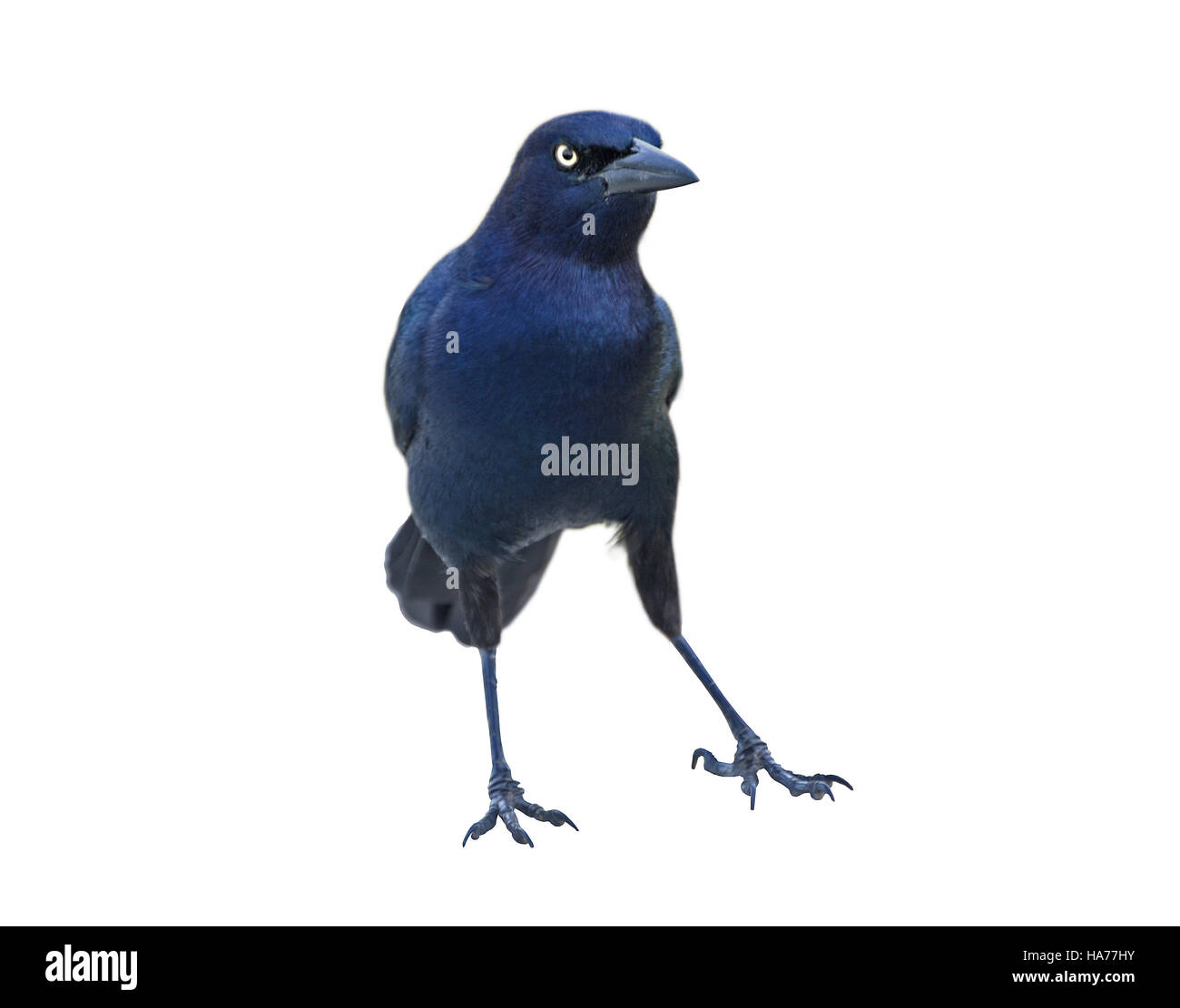 Blackbird - male Boat-tailed Grackleon(Quiscalus major) - in belligerent pose isolated on white background. - Stock Image