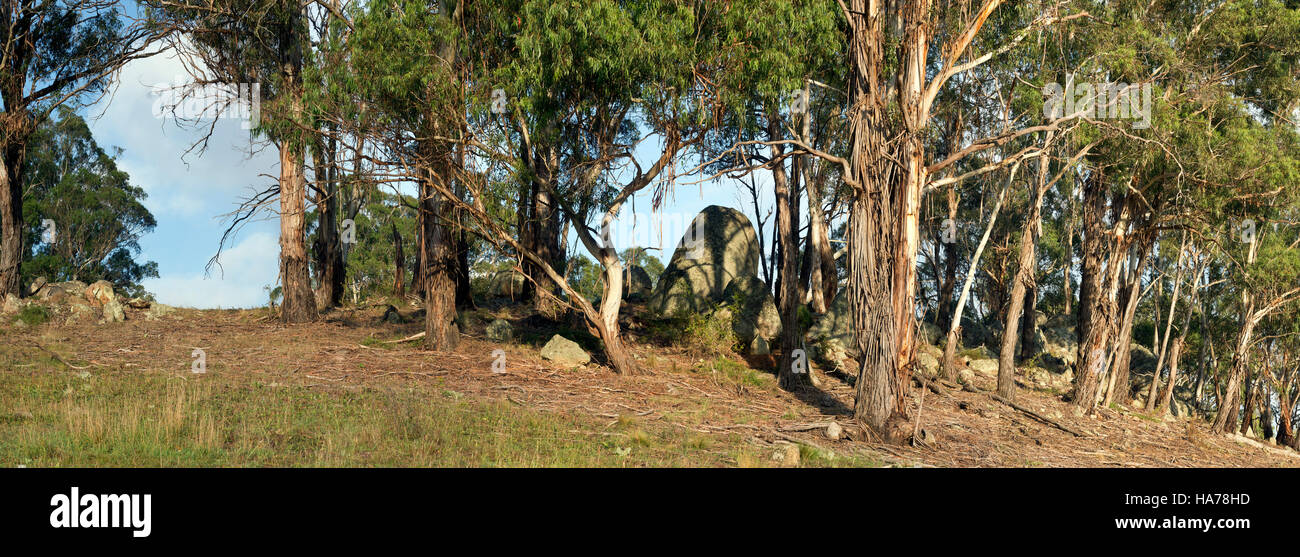Eucalyptus trees (Ribbon Gums) and granite boulders Tallaganda National Park south of Canberra in New South Wales - Stock Image