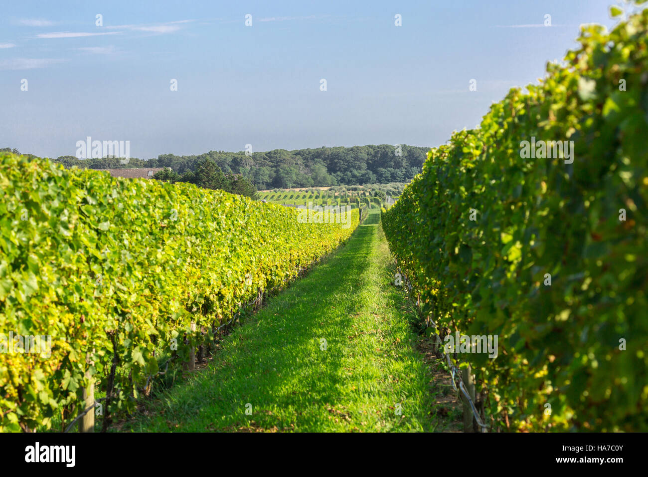wine vineyard in Eastern Long Island with grapes on the vine - Stock Image