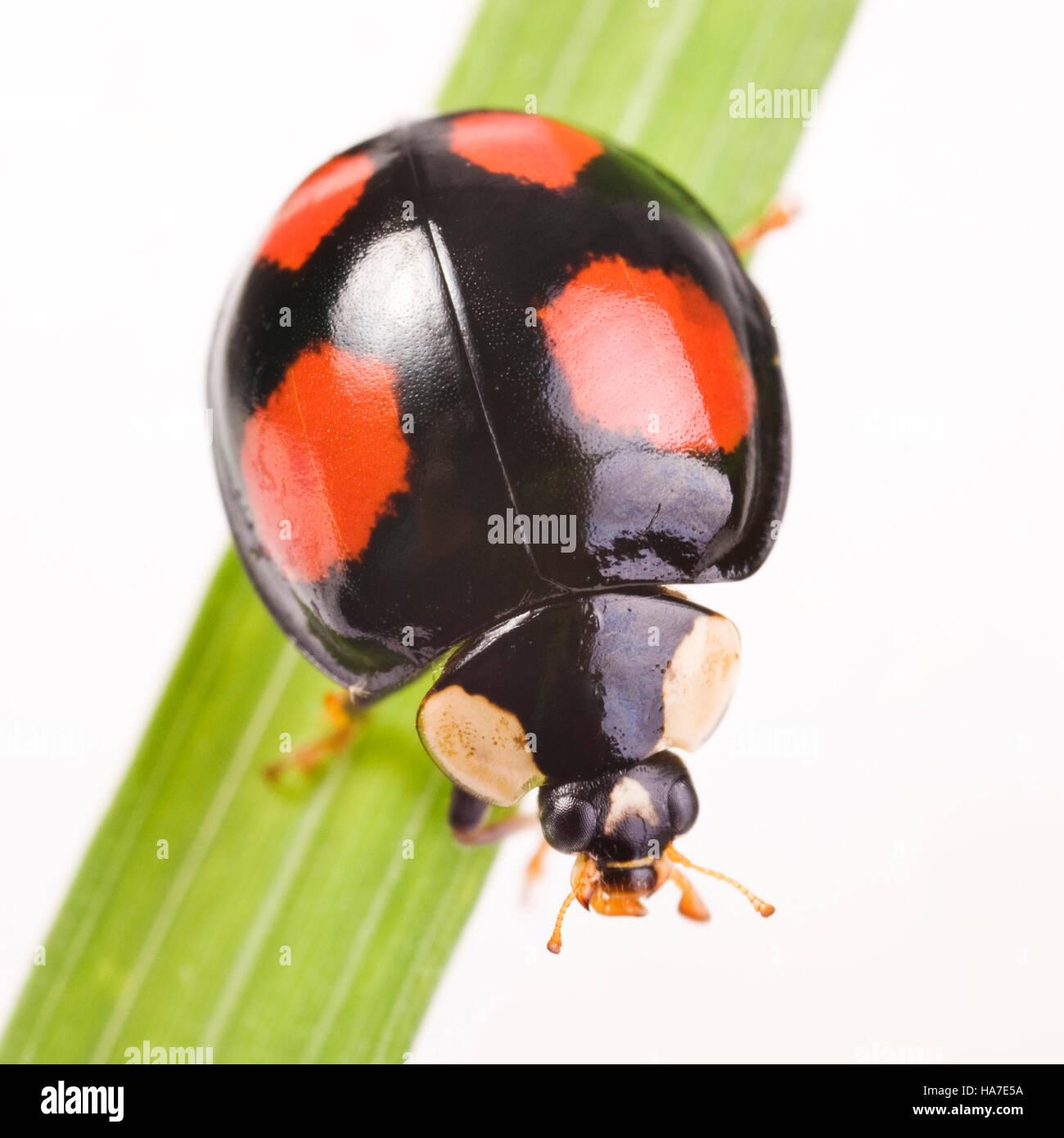 Two-spotted Lady Beetle (Adalia bipunctata), black species - Stock Image