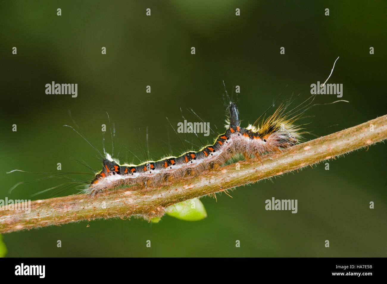 Grey Dragger caterpillar (Acronicta cuspis) - Stock Image