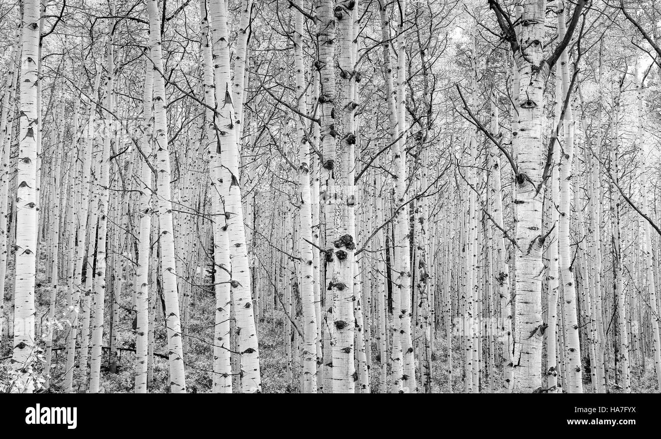 Colorado Aspen trees create an abstract pattern in high key black and white. Photographed along Kebler Pass outside - Stock Image