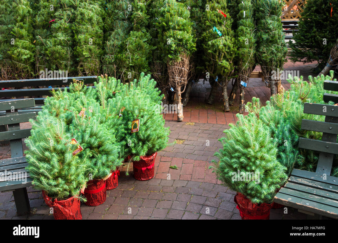Small Stone Pine (pinus Pinea) Christmas Trees In Red Pots