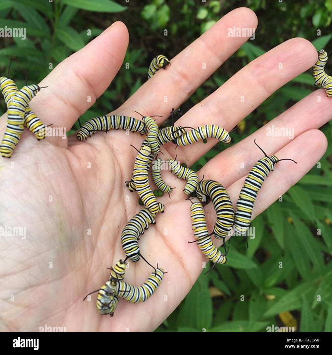 Usfwsmidwest 20845584703 Monarch Caterpillars In Florida