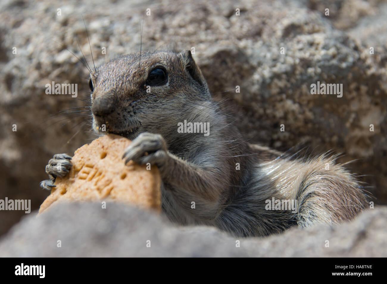 Squirrel, Fuerteventura, Canary Island - Stock Image