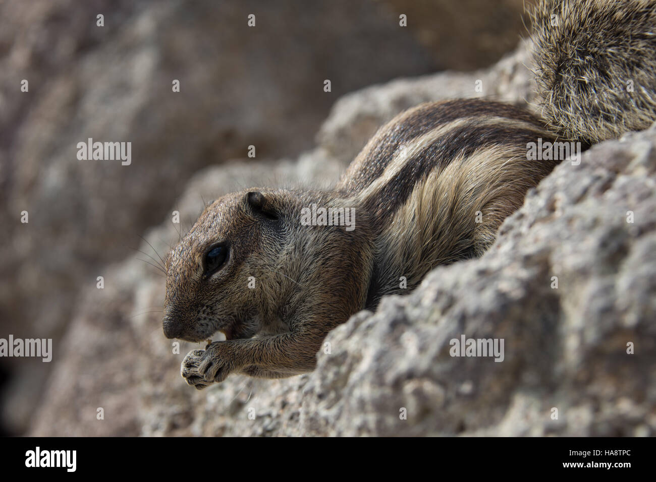 Squirrel, Fuerteventura, Canary Island - Stock Image