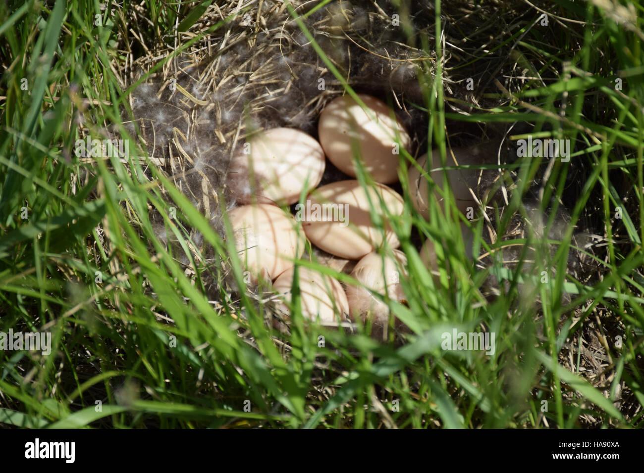 usfwsmtnprairie 28447564814 Blue-winged teal nest at J. Clark Salyer NWR - Stock Image