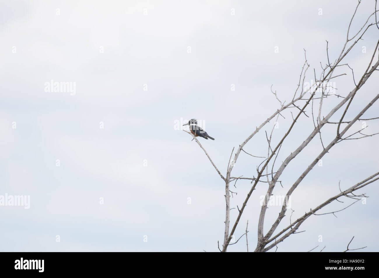 usfwsmtnprairie 28544444893 Belted kingfisher at J. Clark Salyer NWR - Stock Image