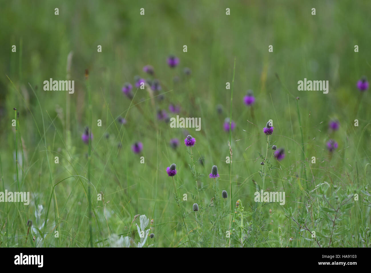 usfwsmtnprairie 28701913653 Purple Prairie Clover at J. Clark Salyer NWR - Stock Image