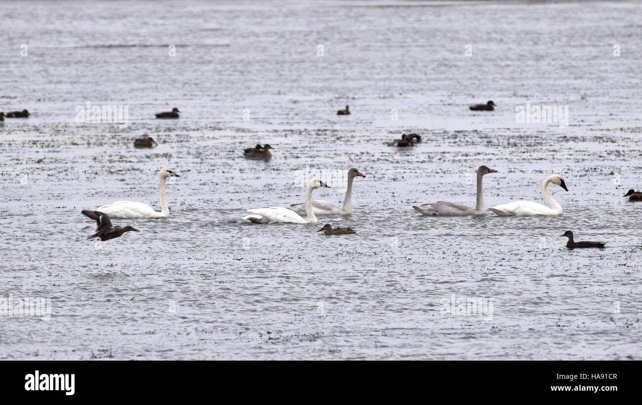 usfwsmtnprairie 30318800542 Tundra Swans at J. Clark Salyer NWR - Stock Image