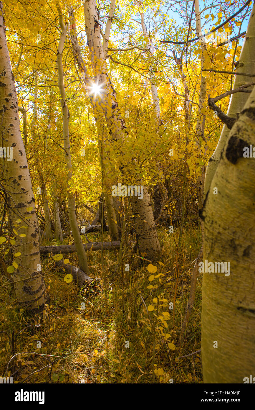 Backlit Aspen trees glowing with golden color in the fall - Stock Image