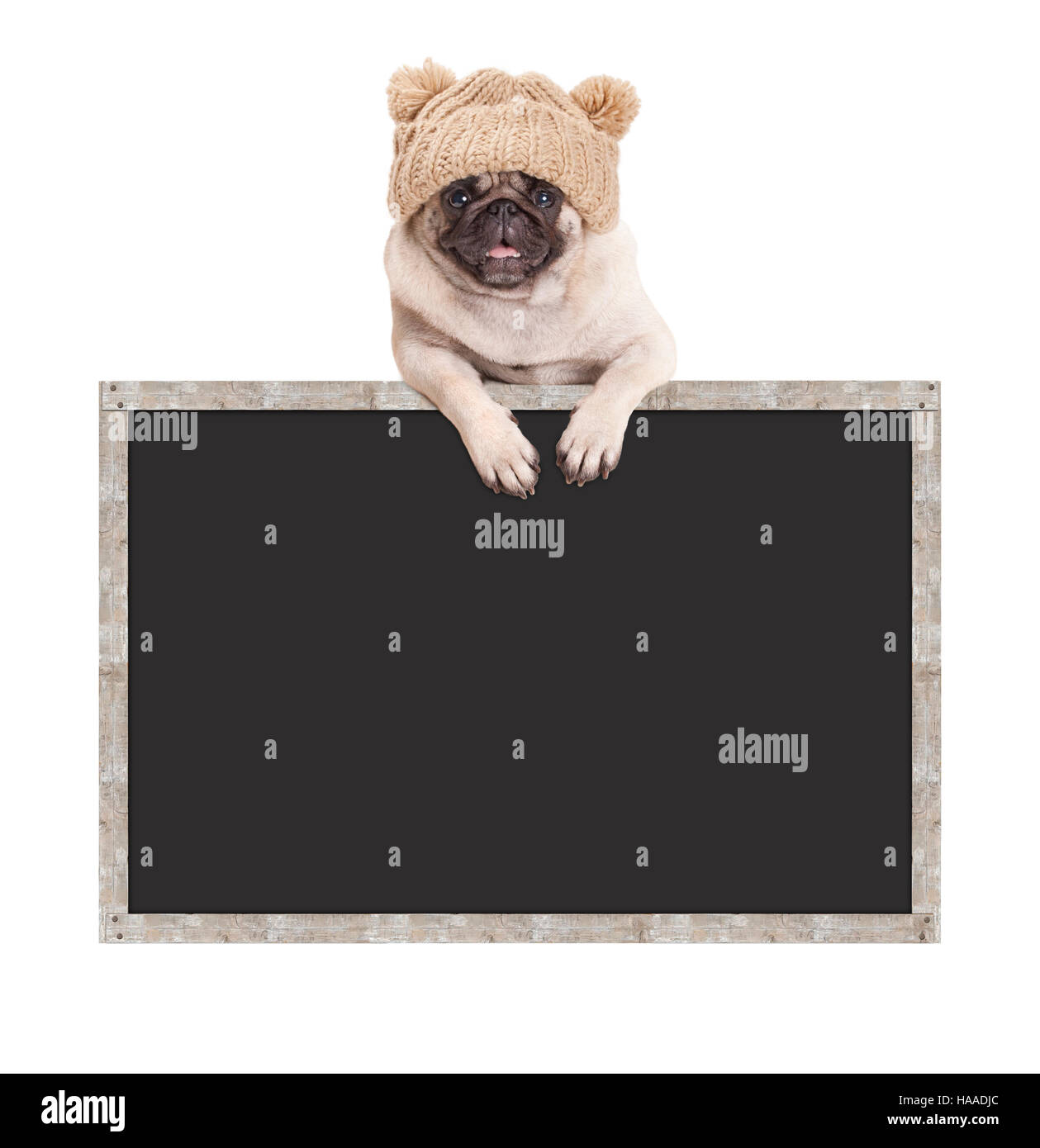 pug puppy dog with knitted hat, hanging with paws on blank blackboard sign with wooden frame - Stock Image